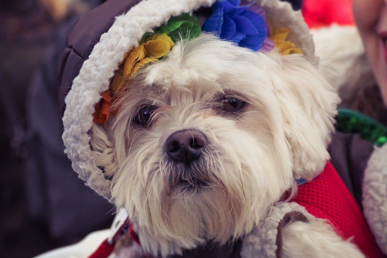 A Westie wearing a fleece hat lined with with rainbow flowers.