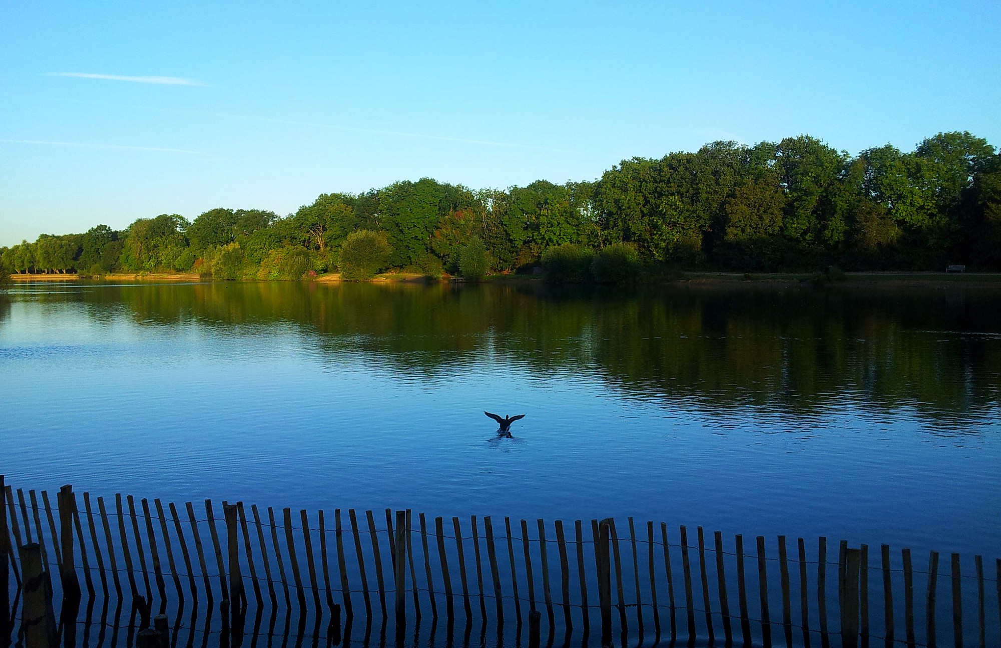 A duck fliying low over a lake at dawn on a beautiful summer's day, escaping from a fence on the lake's edge