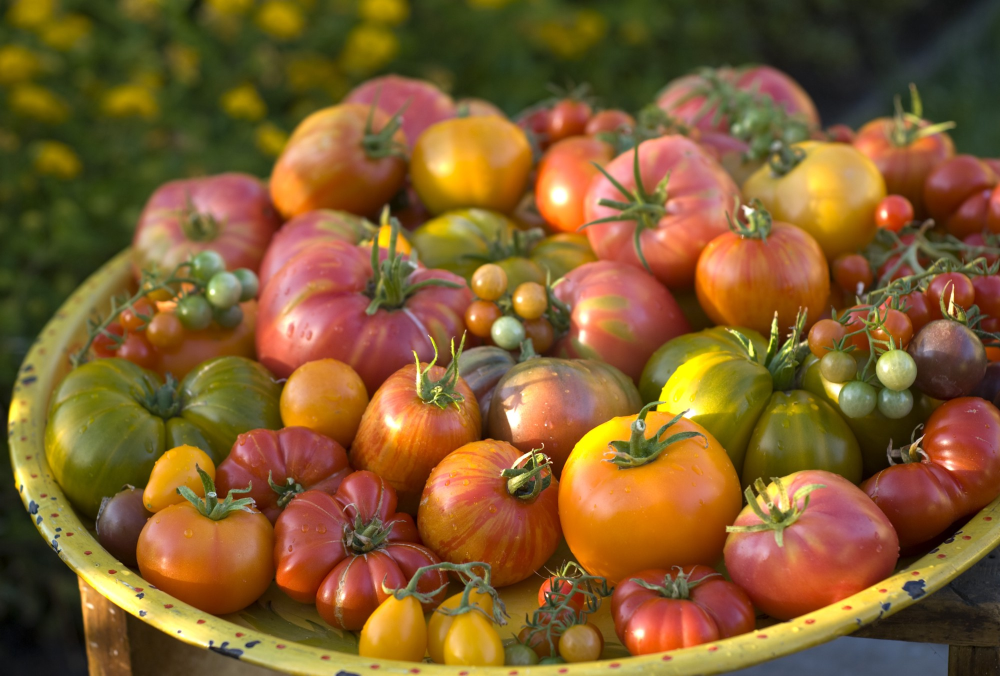 A large basket overflowing with heirloom tomatoes of various sizes and colors.