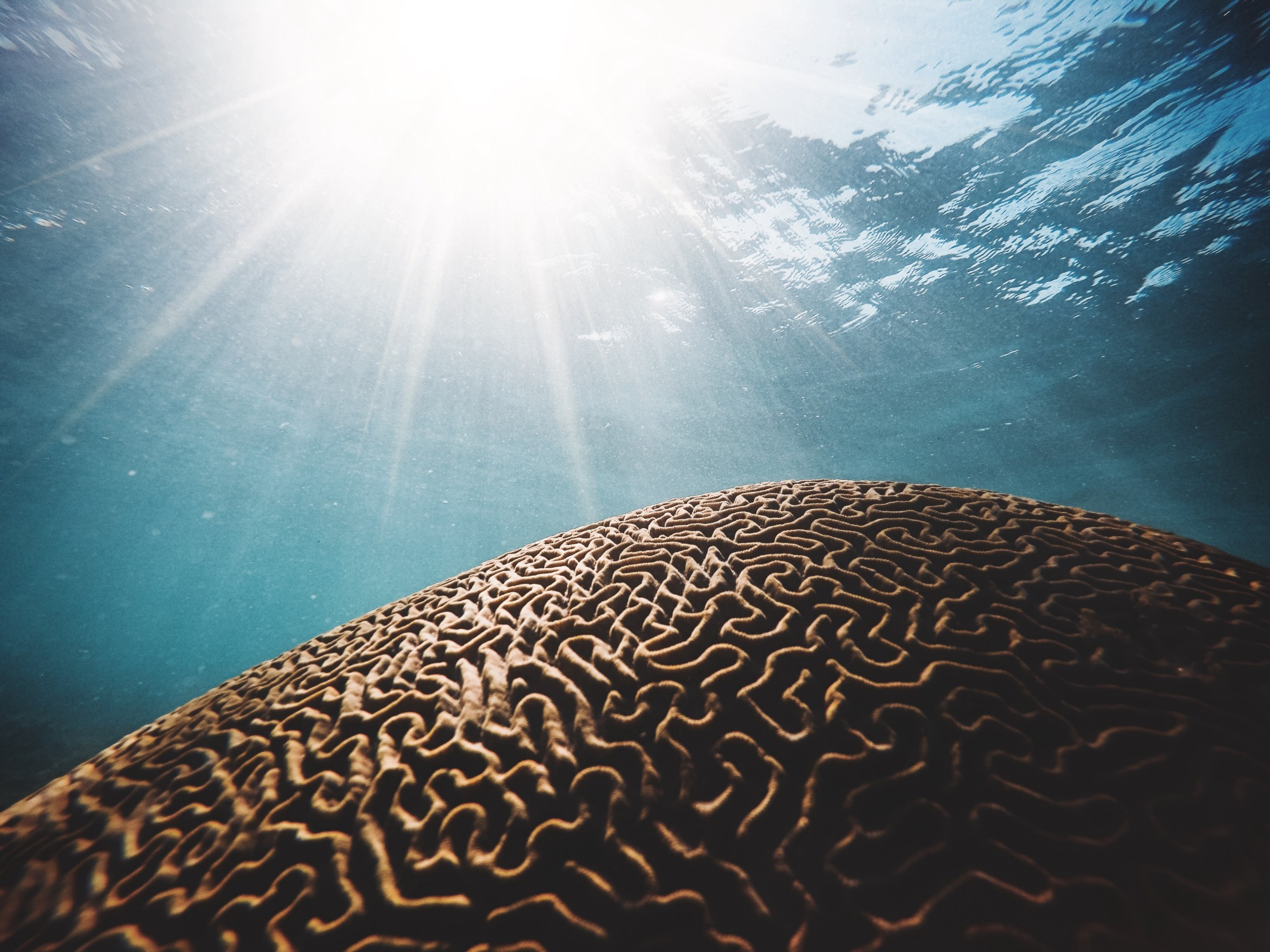 Underwater view of a coral with twisting lines like a brain