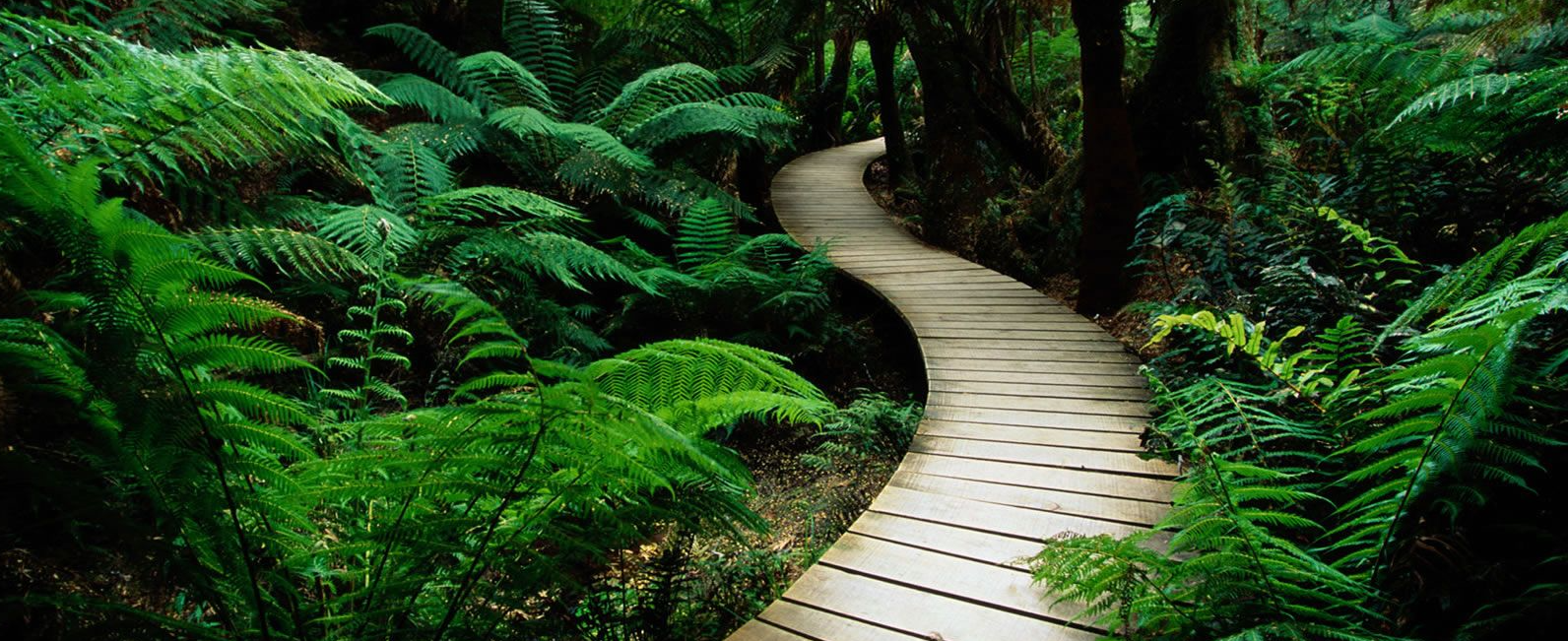 A wooden walkway winding through ferns and trees in a lush green forest.