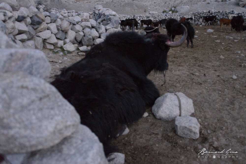 Zood Khund: yaks and cattle kept in an enclosure at the entrance of Yishyok pasture — Photo Bernard