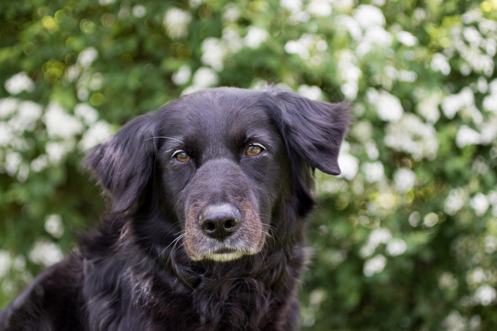 Denise (a black dog) in front of some white and green flowering bushes.