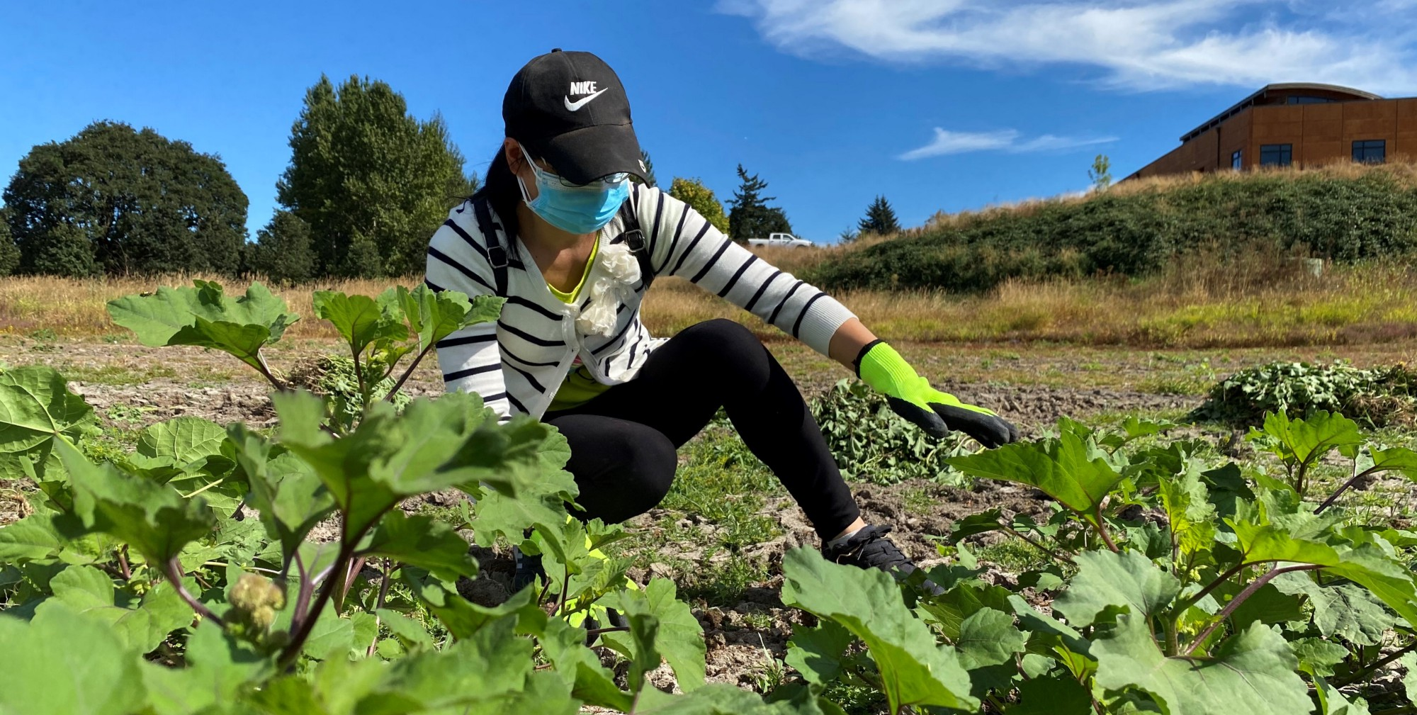 A volunteer from the Oregon Chinese Coalition removes velvetleaf and cocklebur from a dry wetland at Tualatin River NWR. Photo by Brent Lawrence / USFWS