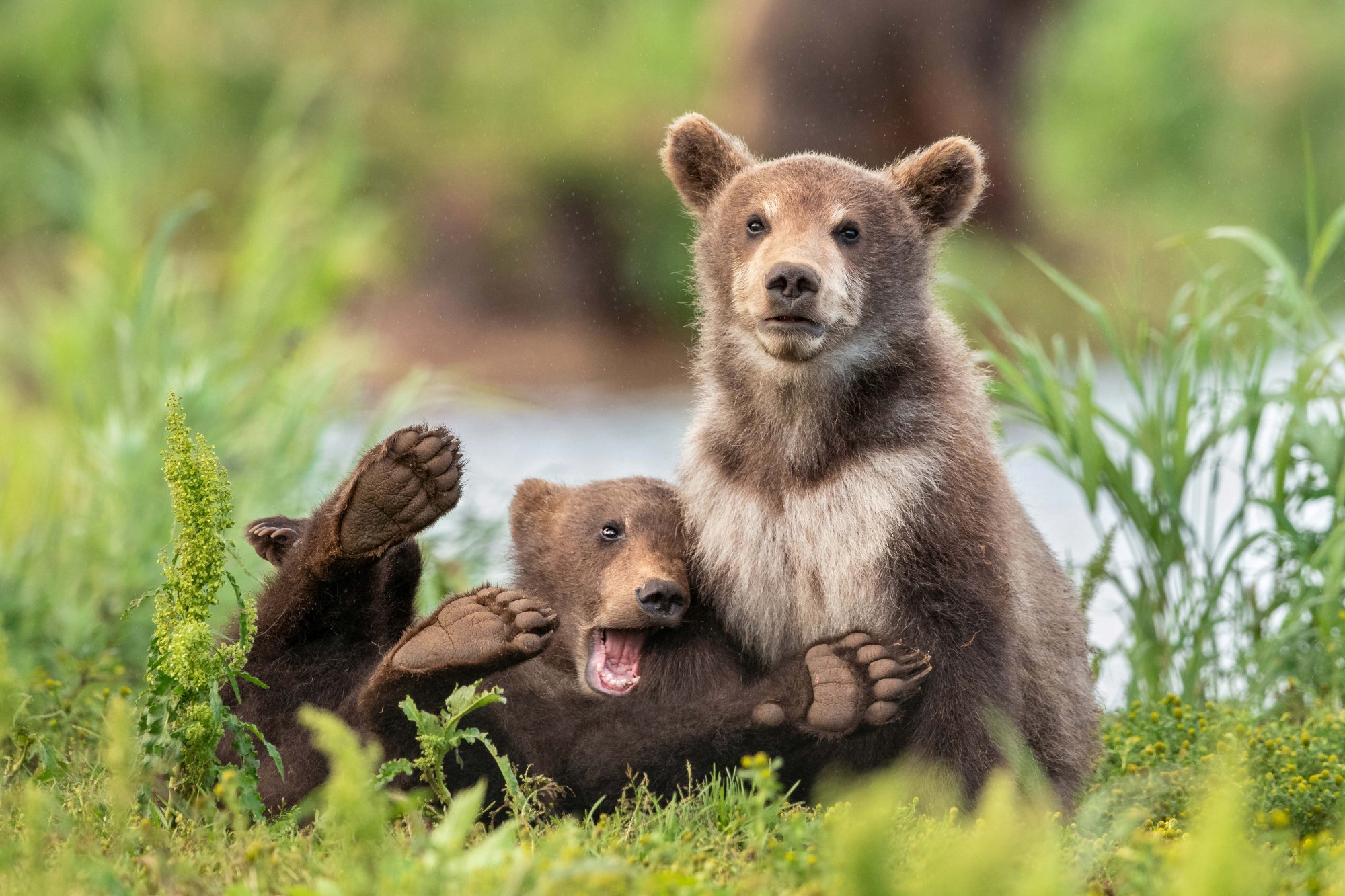 Two brown bear cubs pose, one looking serious and the other collapsing with a wide open mouth and his paws in the air