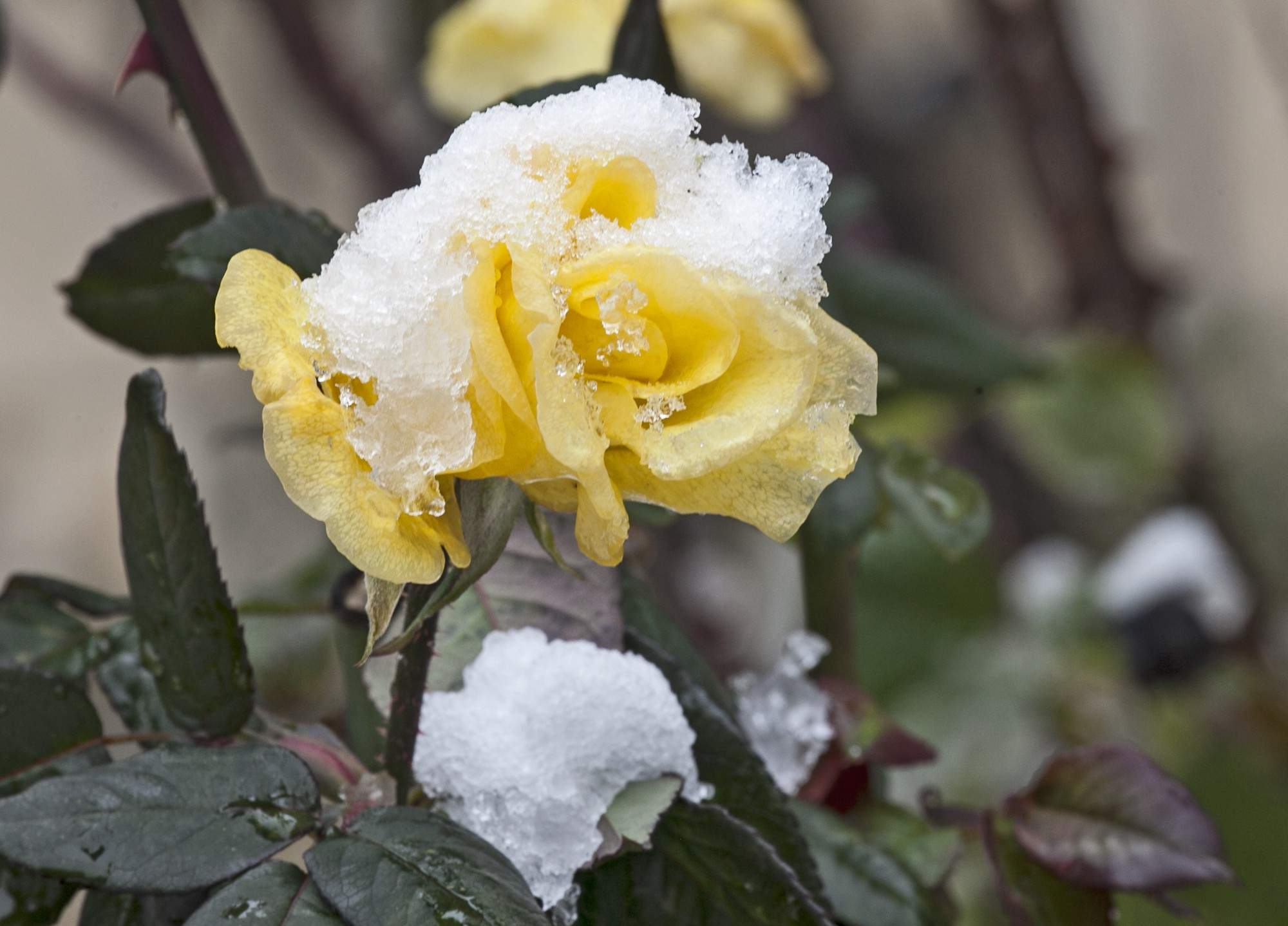 Beautiful spring flowers with snow on them | Click, Click, PHOTO!