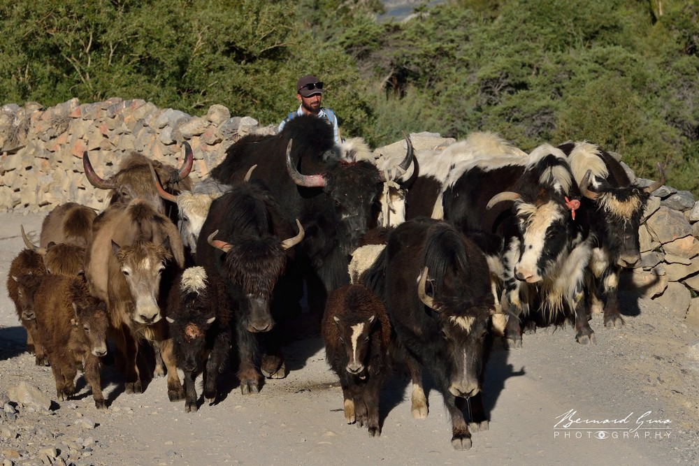 Zoodkhun: after having crossed the border at Irshad Pass (4975 m) yaks walking through the village to Sost Photo Bernard Grua