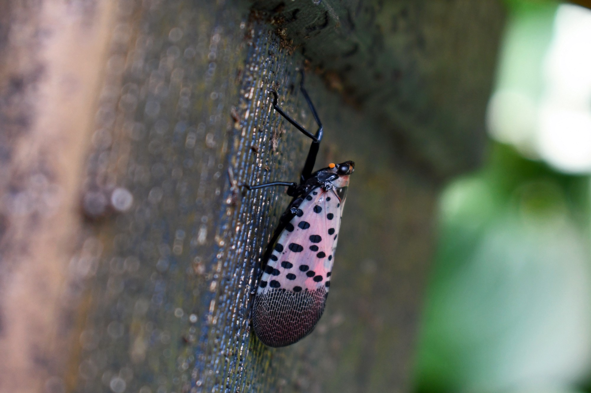 an spotted insect resting on the side of a builting