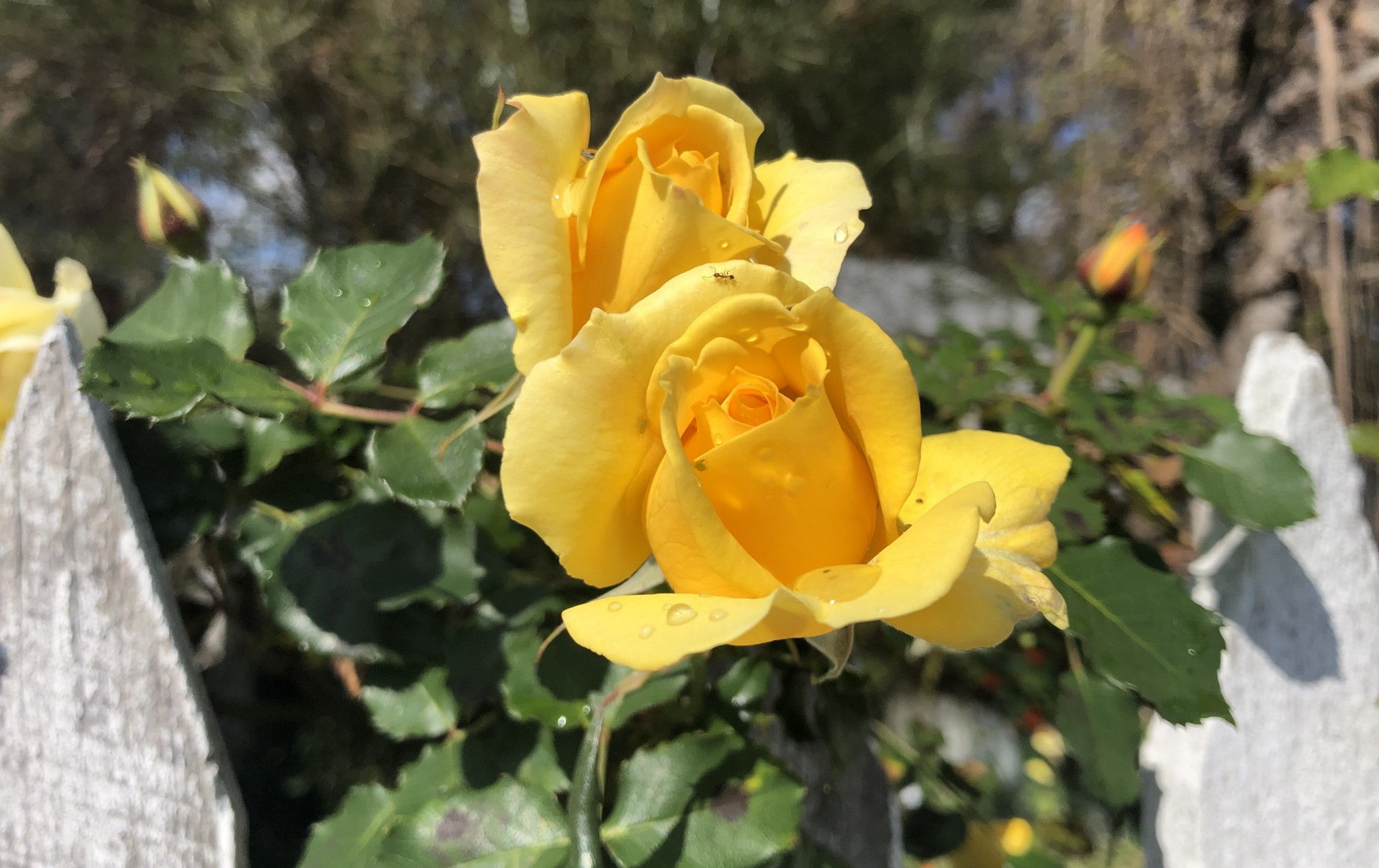 Two yellow roses framed by white pickets