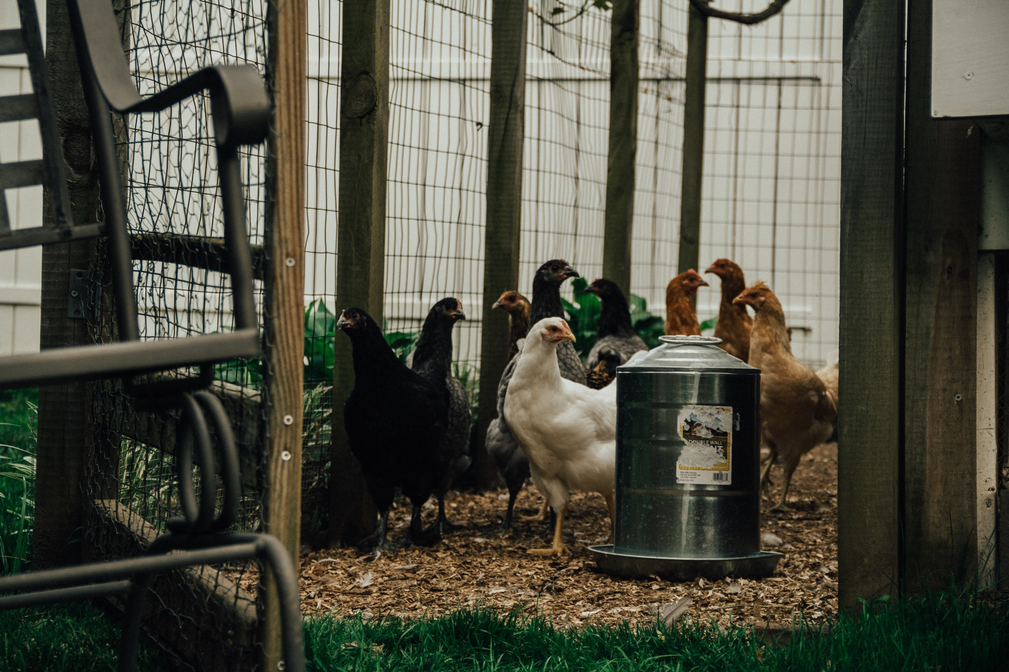Our flock of chickens pictured inside their enclosure