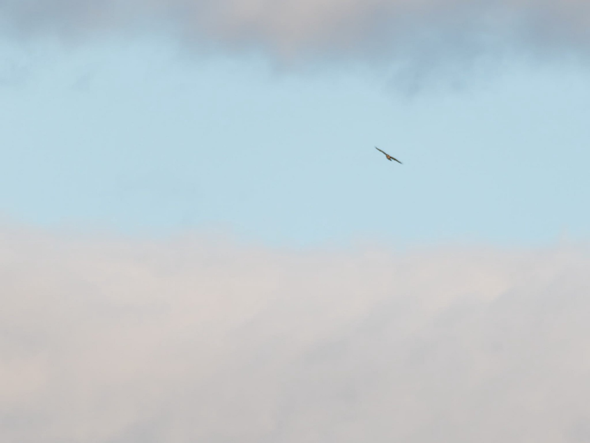 Juvenile bald eagle soaring in a clearing sky.