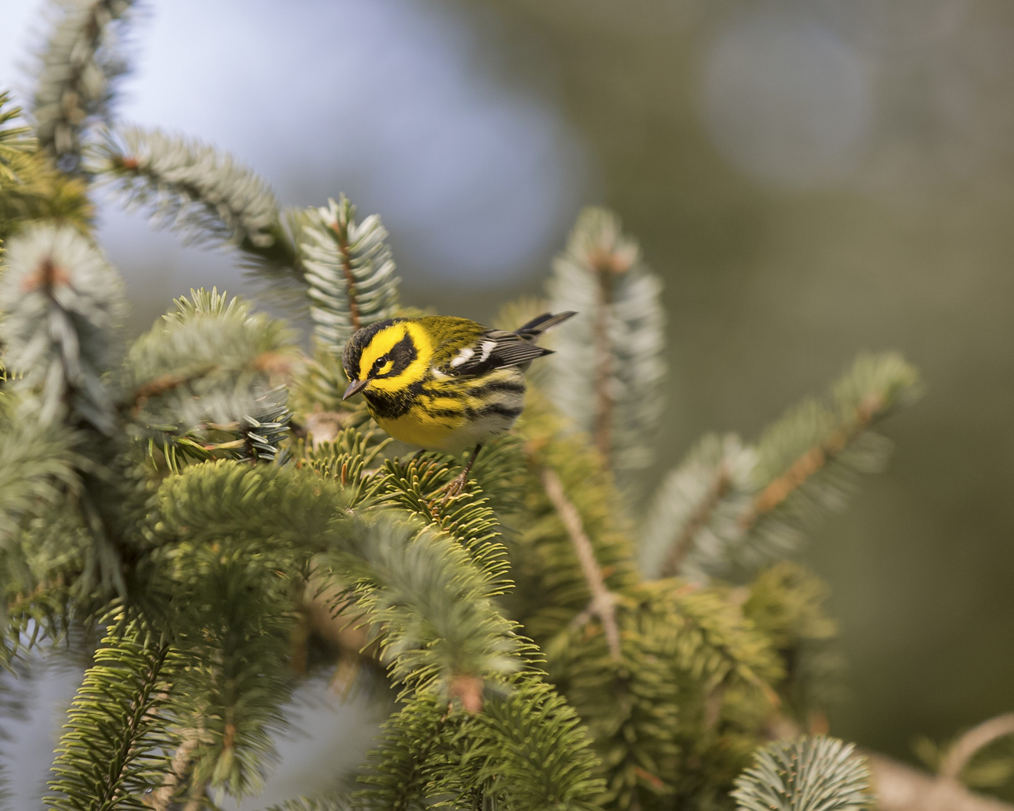 Male Townsend's warbler on a conifer branch