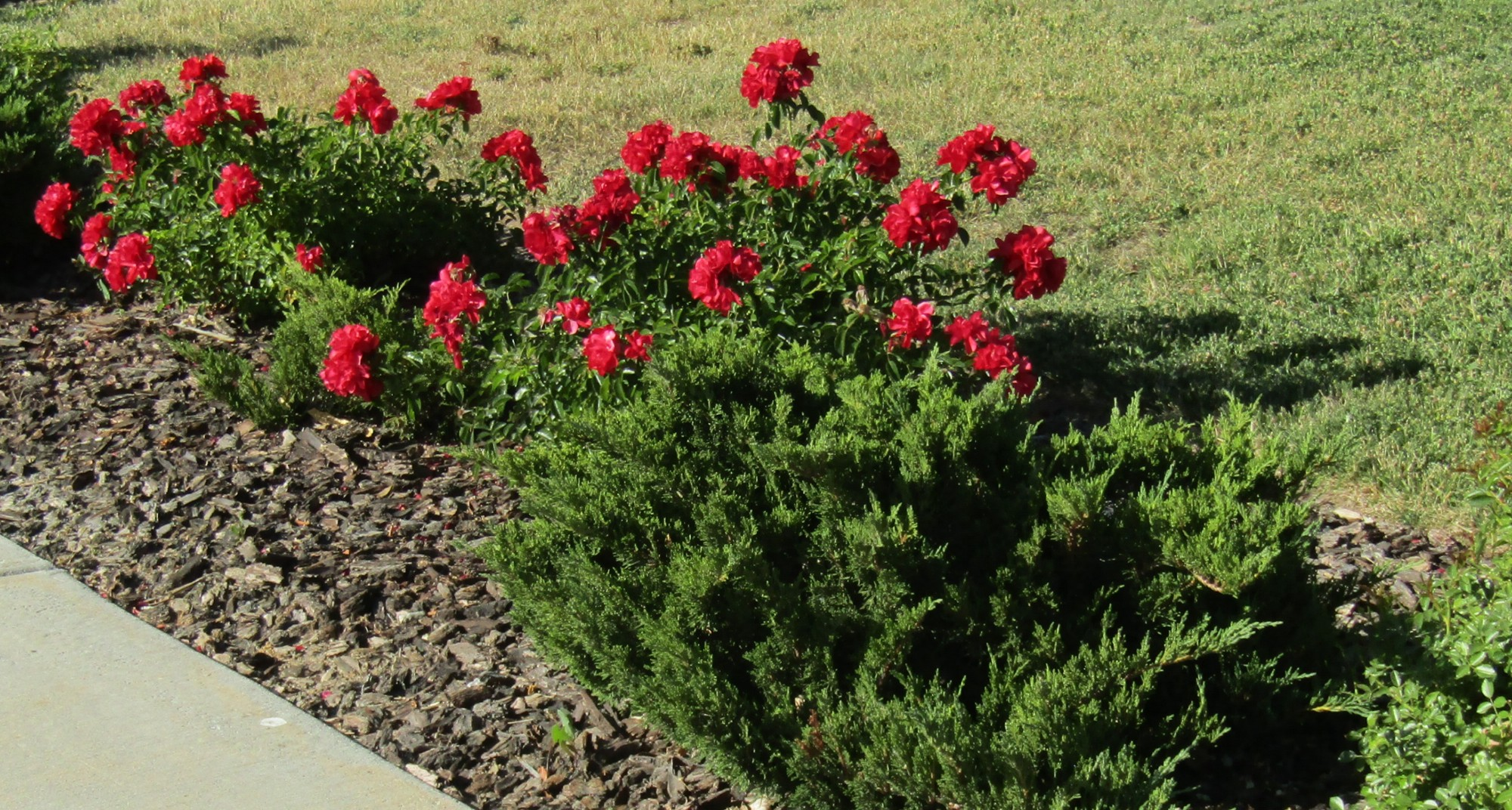 Red Roses with Juniper in My Neighbors Yard