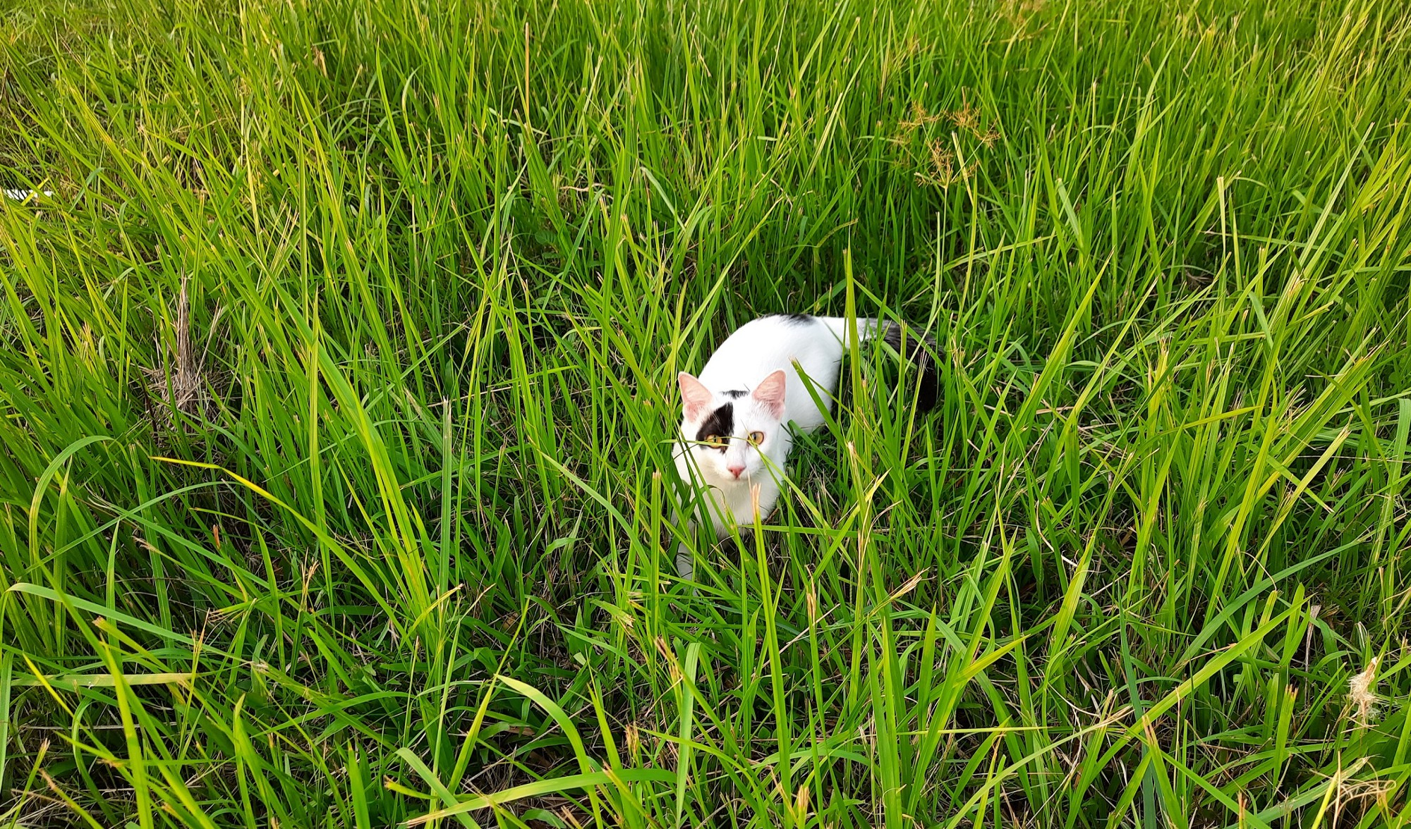 My cat Mini is hunting flies in the grass