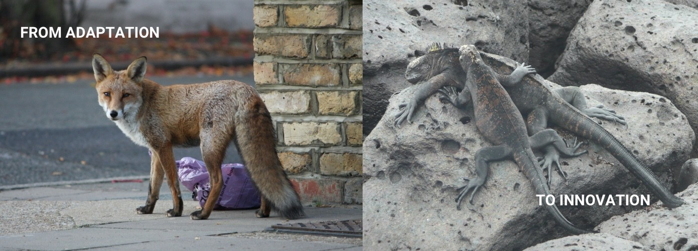 Two images side by side, a fox on the left and two marine iguanas in the right