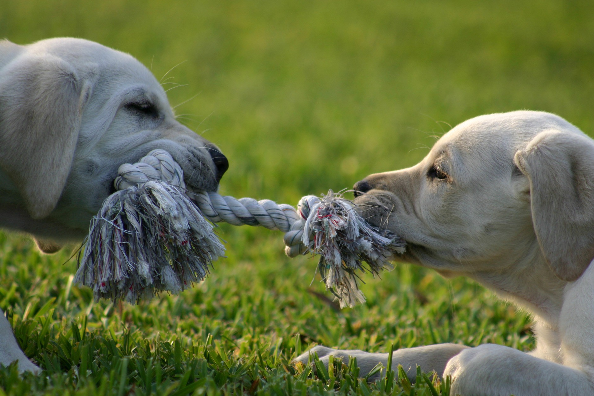 Two puppies on either end of rope in a serious tug of war