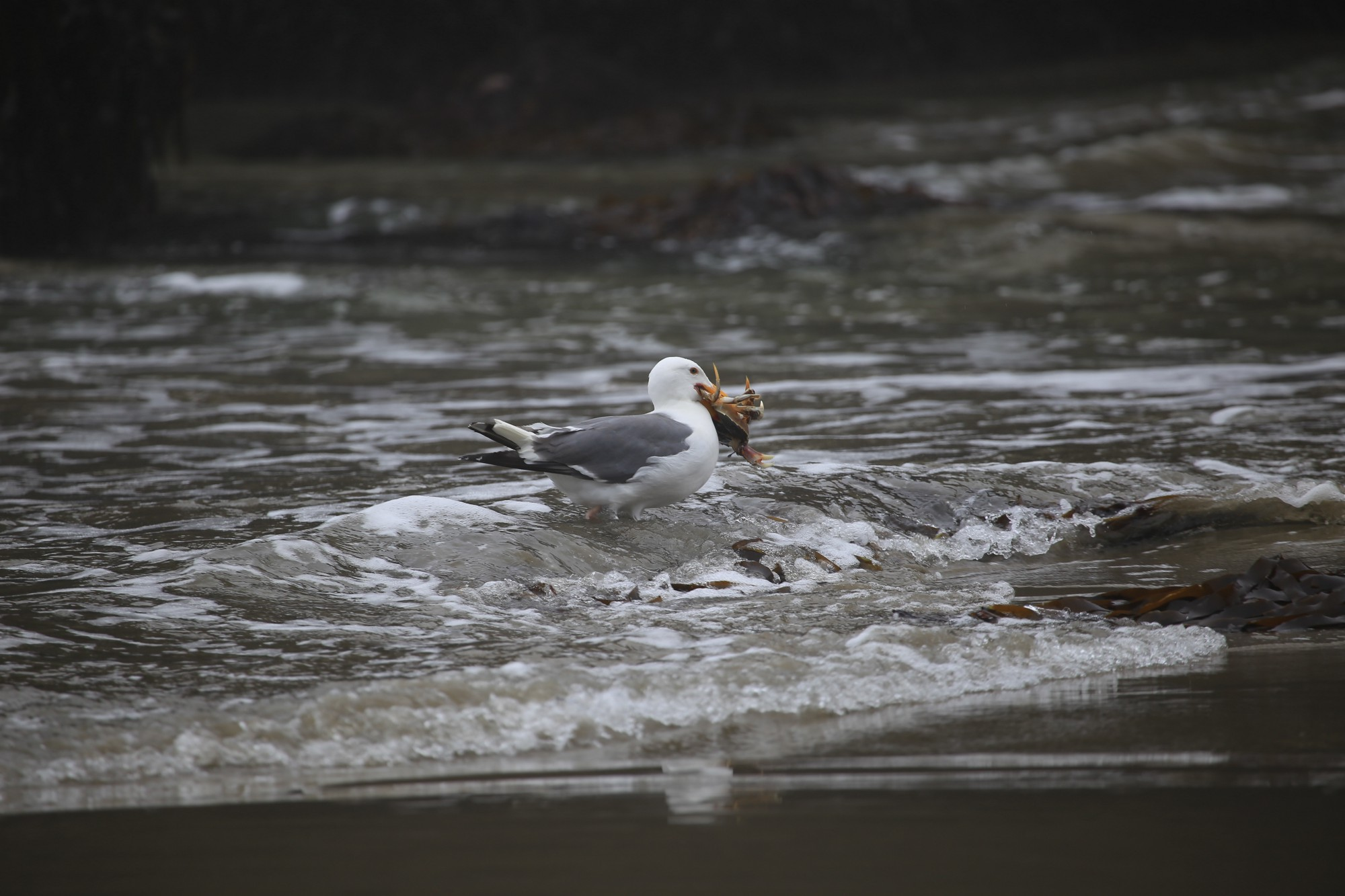 A Western gull (Larus occidentalis) captures a red rock crab (Cancer productus)during low tide.