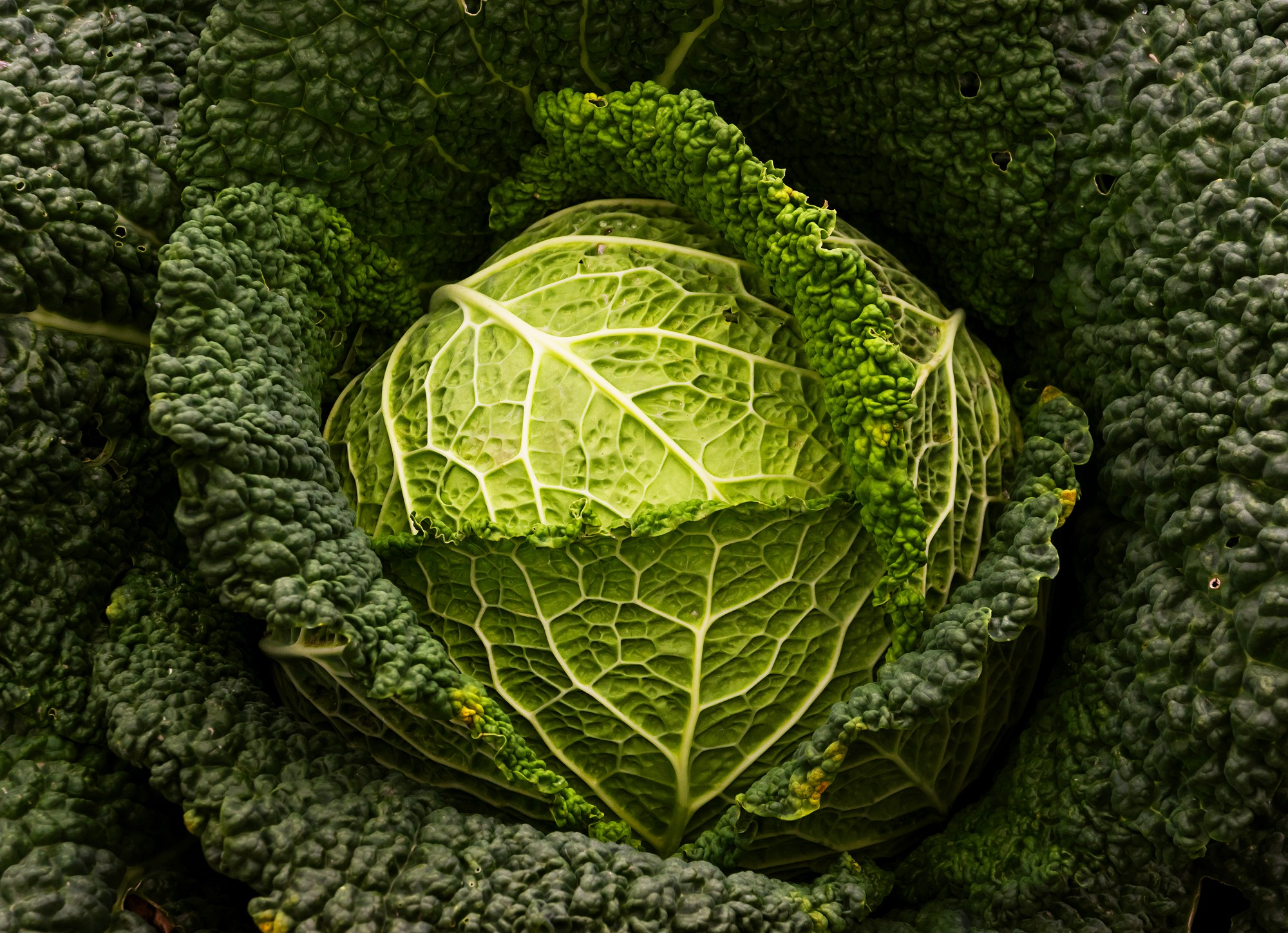 A large, crisp, dark green head of cabbage.