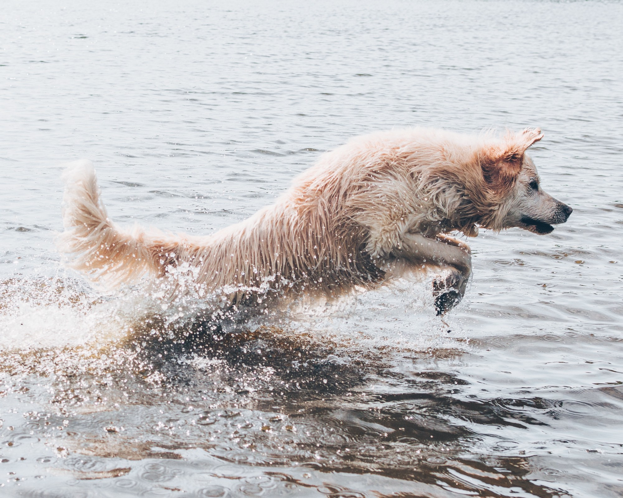 Long coated brown dog leaping out of water