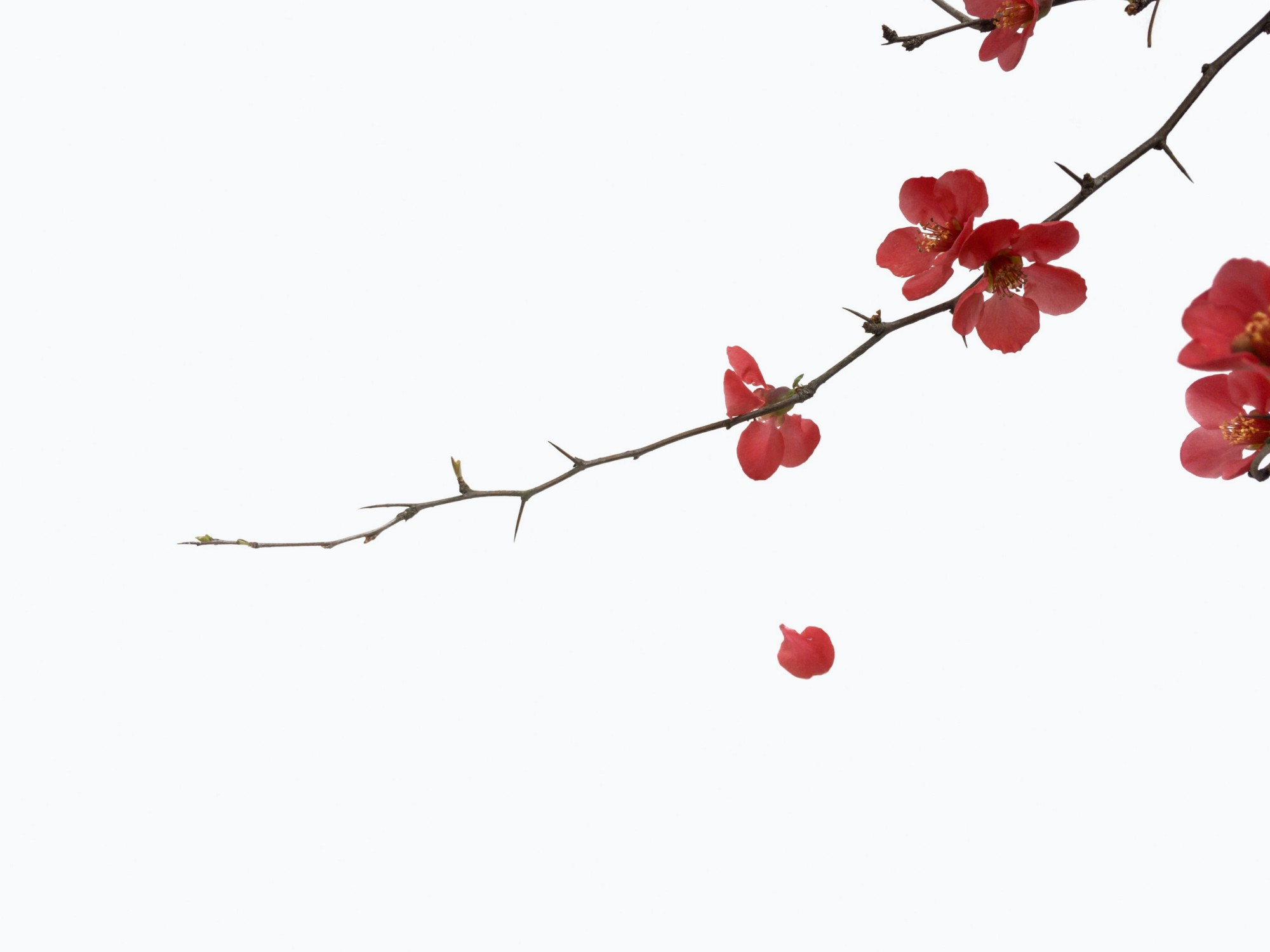 Nearly-bare branch of red blossoms against stark, white background.