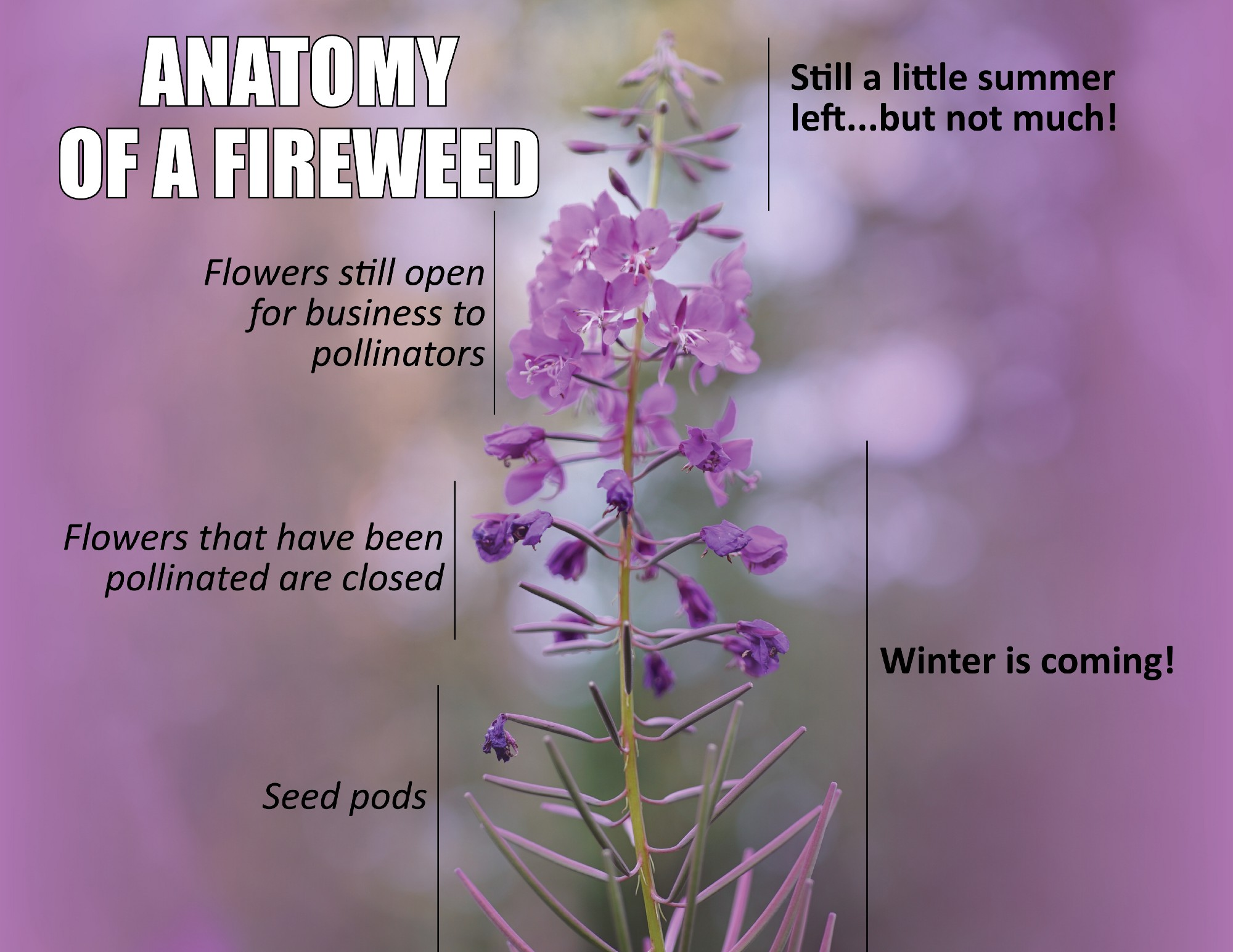 anatomy of fireweed showing progression through summer — seed pods, flowers