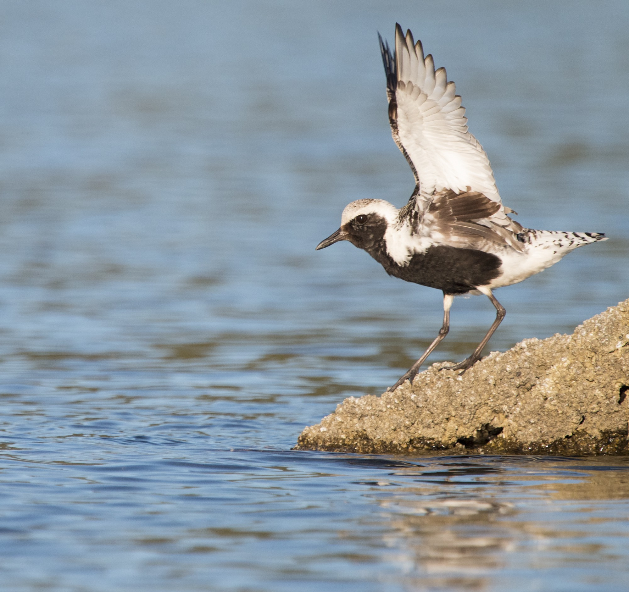 Black-bellied Plover in breeding plumage lifts off from a log