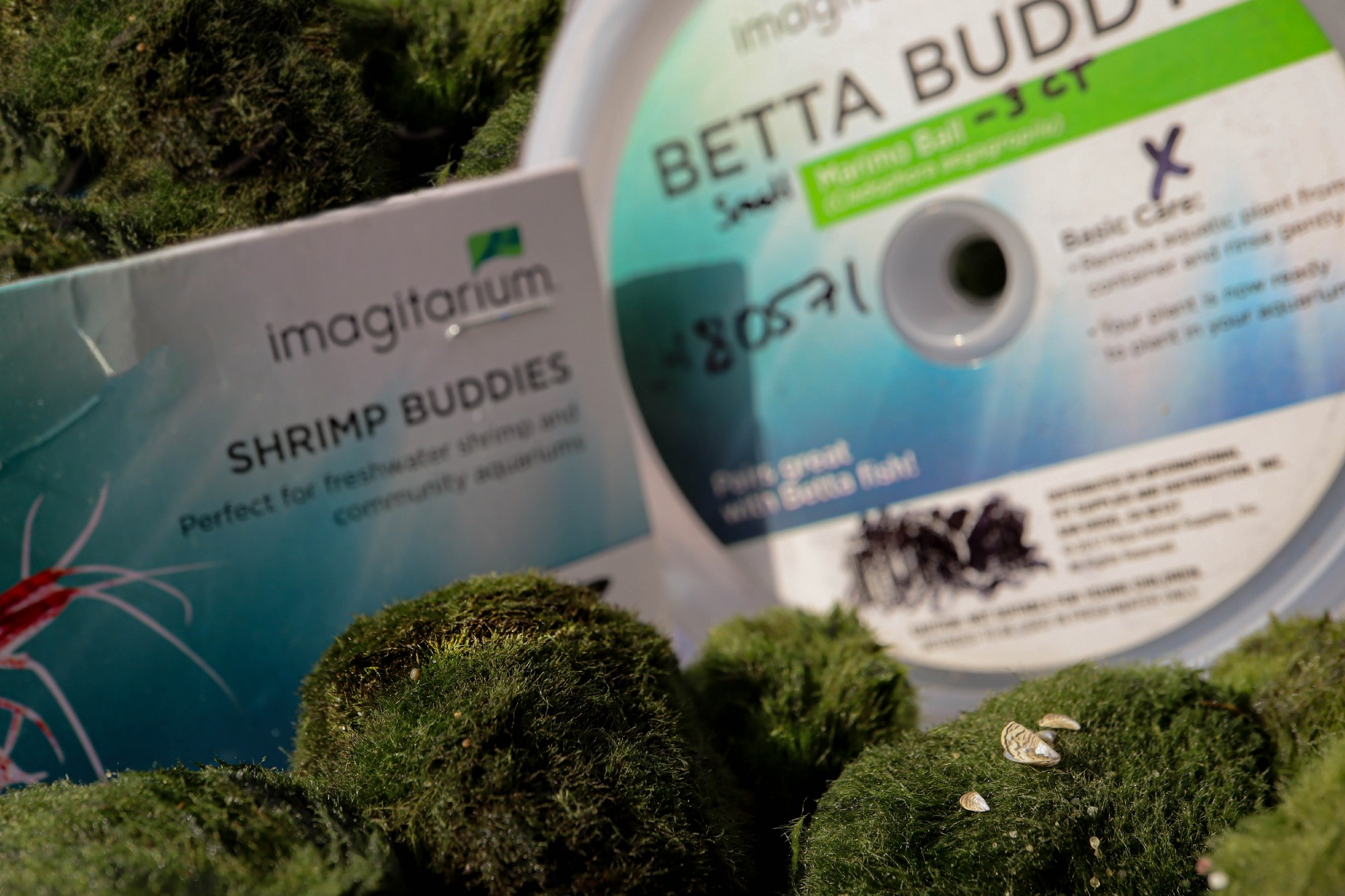 """Zebra mussels on a moss ball, surrounded by other moss balls and with """"Shrimp Buddies"""" and """"Betta Buddies"""" packaging in the background"""