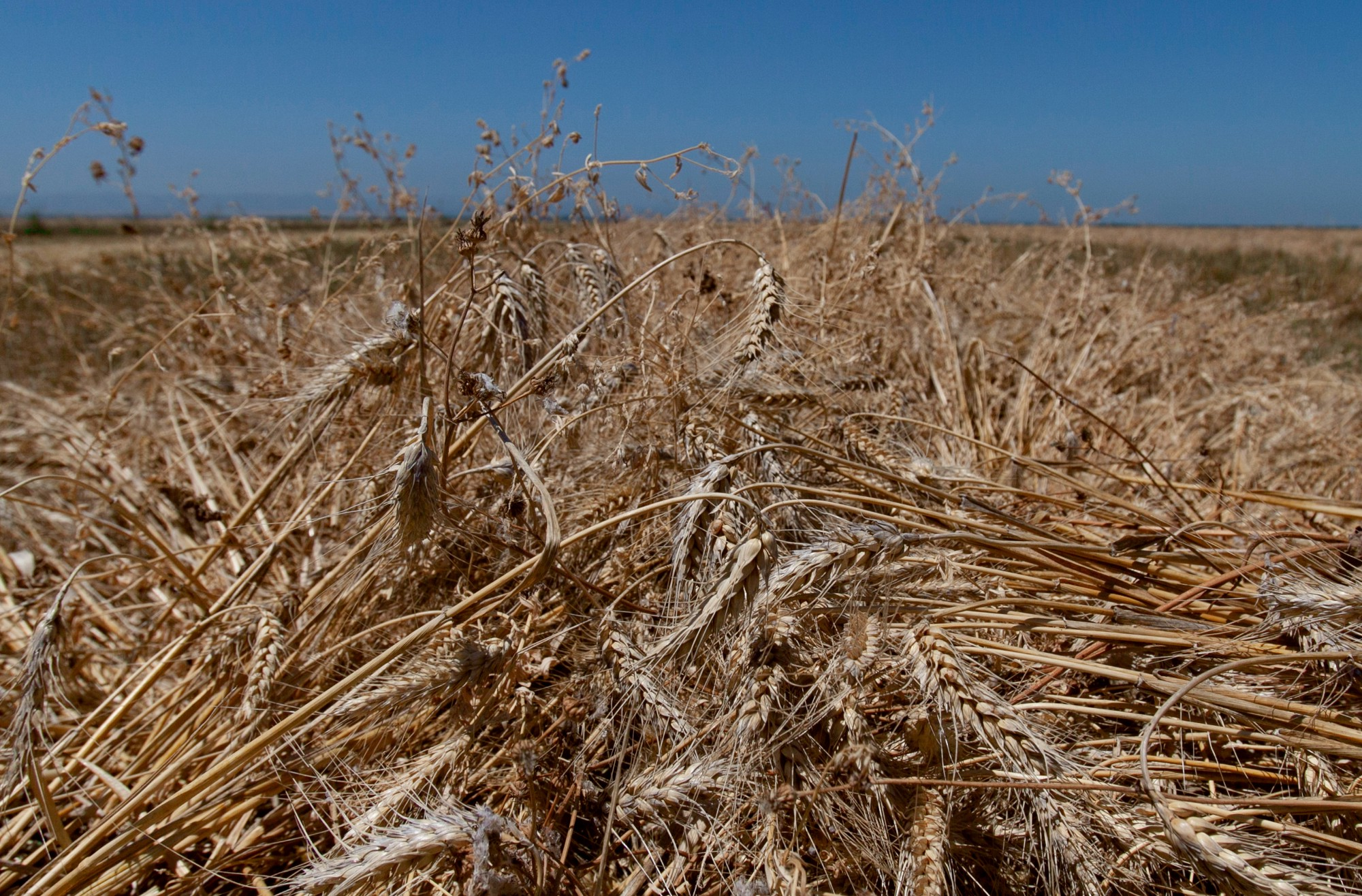 A field of wheat under a blue, cloudless sky.