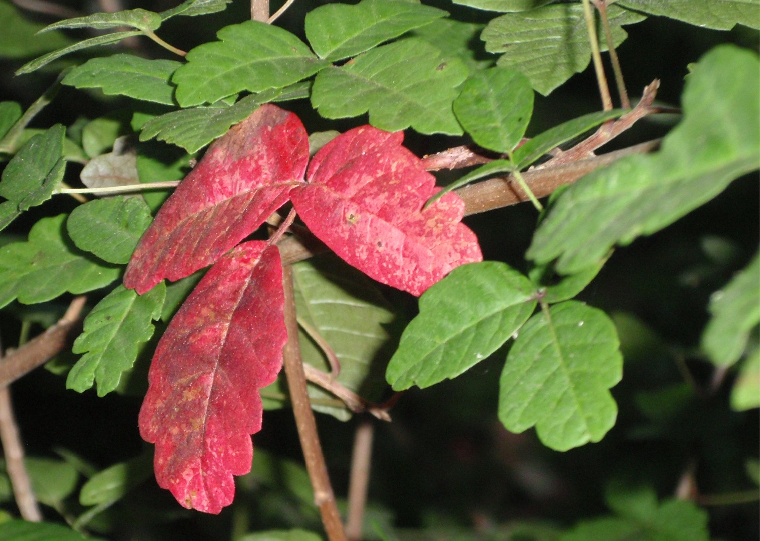 Cccclose-up of red and green poison oak leaves in October