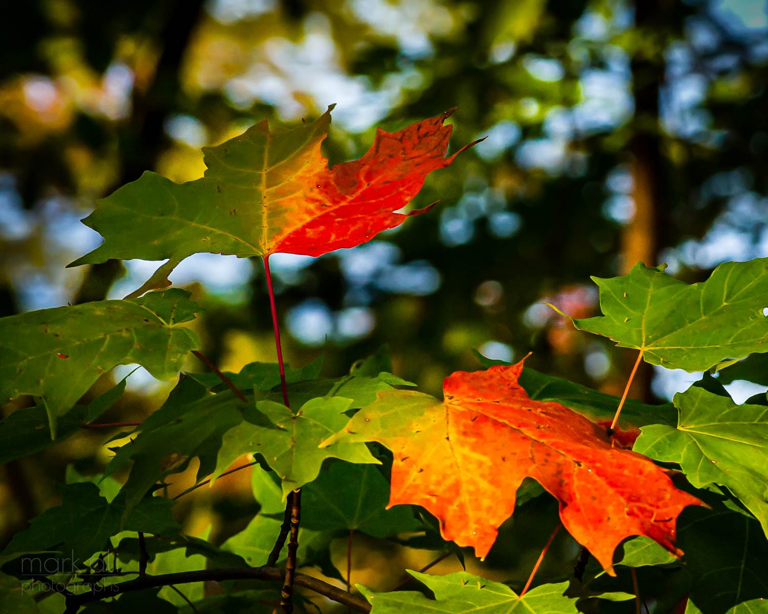 A splash of red color appears on leaves at the start of autumn.