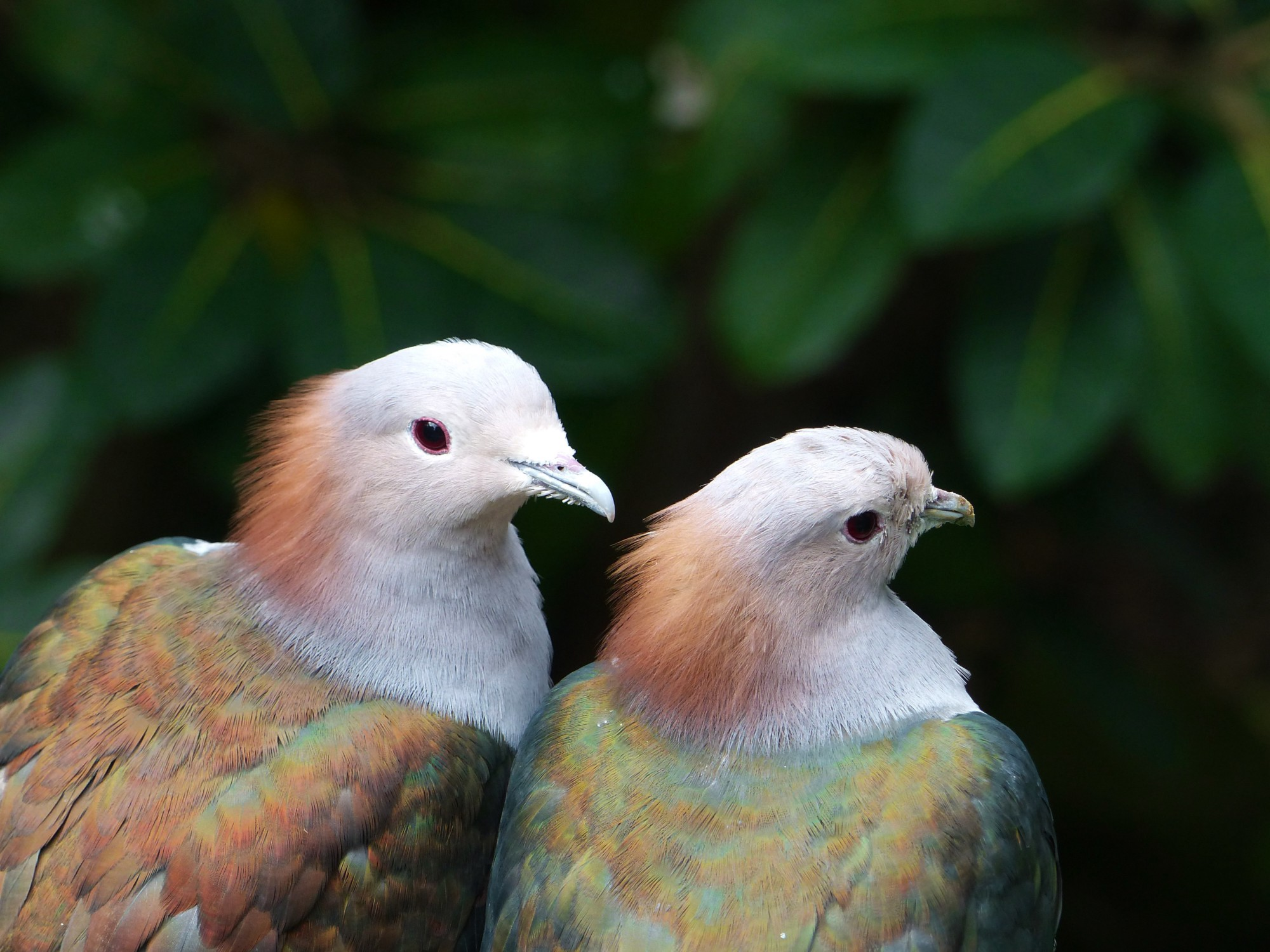 Two exotic birds in foliage.