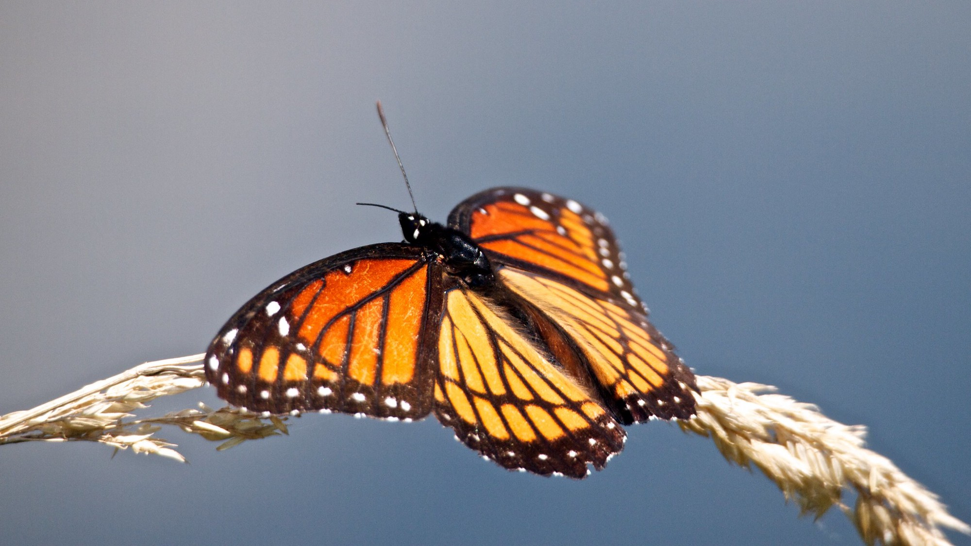 A viceroy butterfly rests on grass with water in the background.