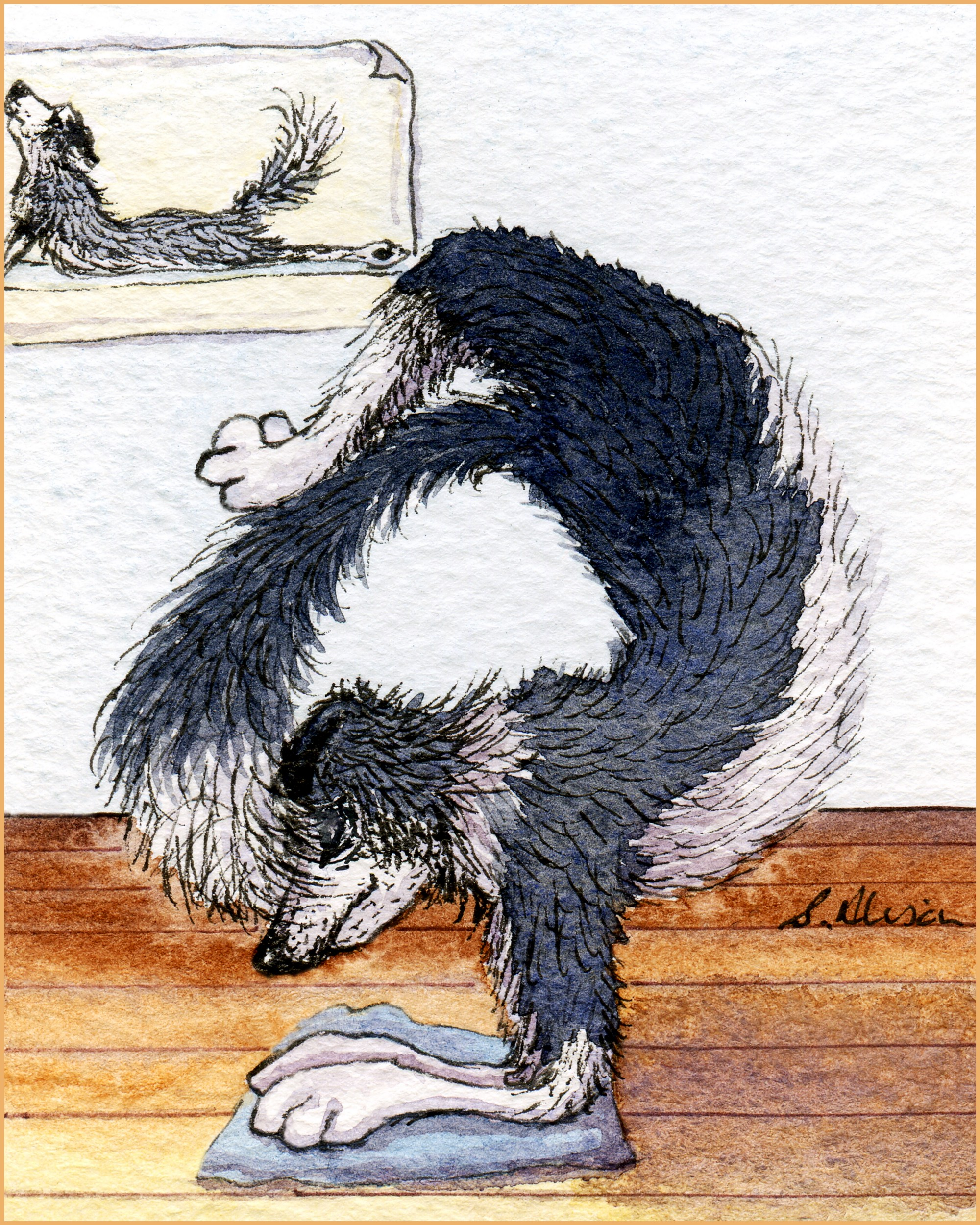 A Border Collie dog demonstrates the problems with having a tail whilst doing Scorpion Pose.