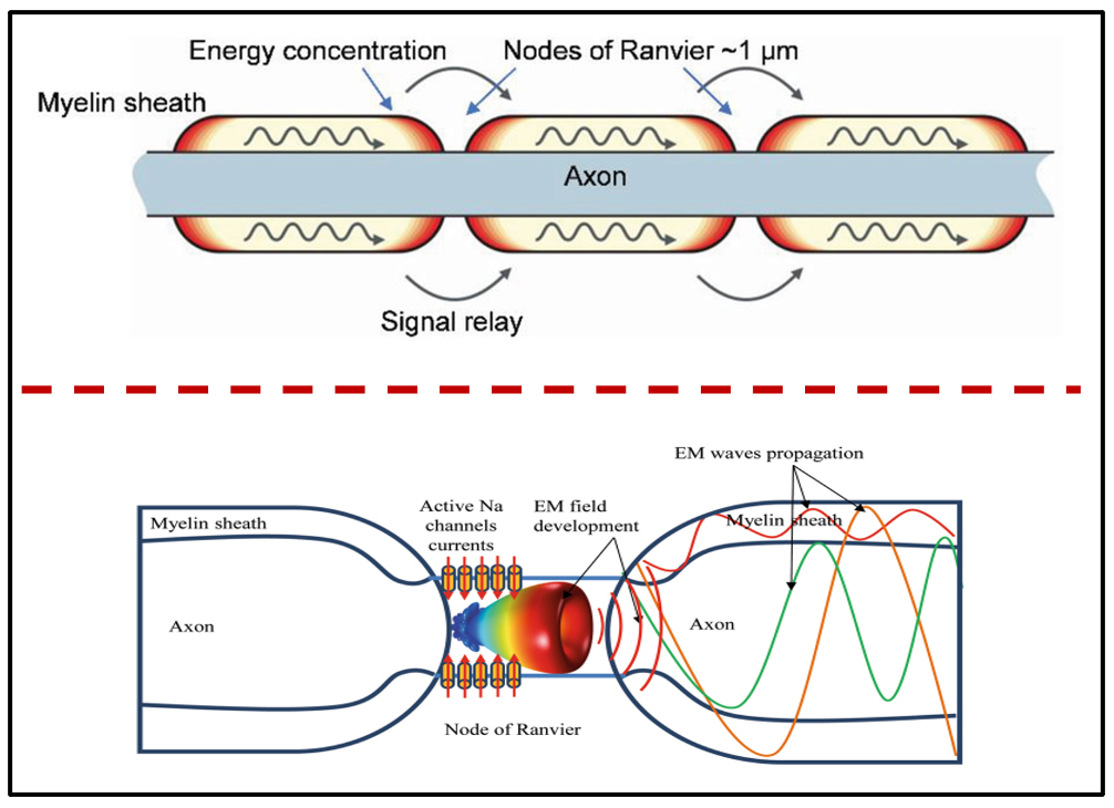 A schematic view of the propagation of electromagnetic radiation through axons with the myelin sheath as waveguide.