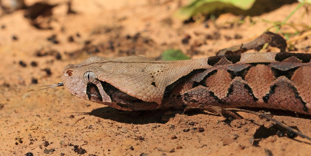 Top 10 Gaboon Viper Facts - Reptile World Facts - Medium