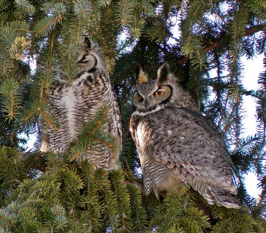 two great horned owls perch in a tree