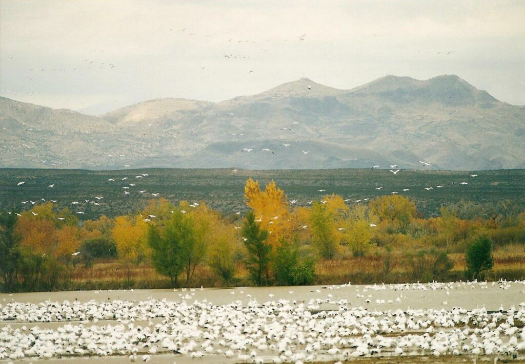 Thousands of white birds on a lake in a mountain valley