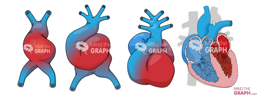 human heart development.(1)