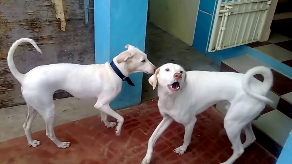 Why Indian Dog Breeds Are Best July 12 2019 Dgflood 0 Comments By Bhupinderjordan Medium