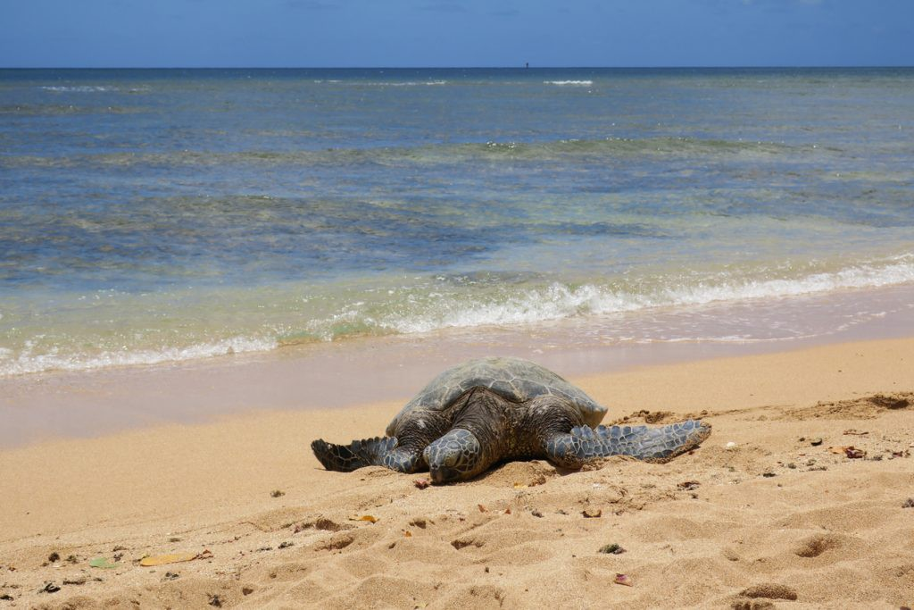 Turtle at Polihua Beach, Lanai