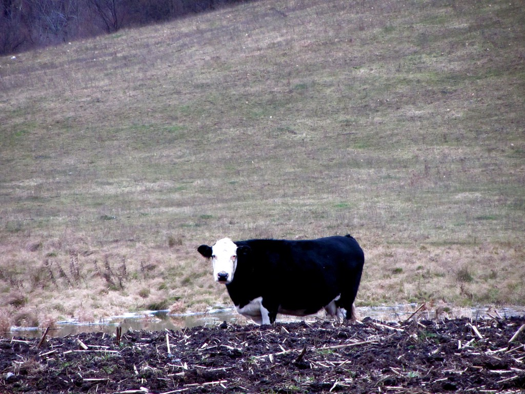A picture of a black and white cow in a field