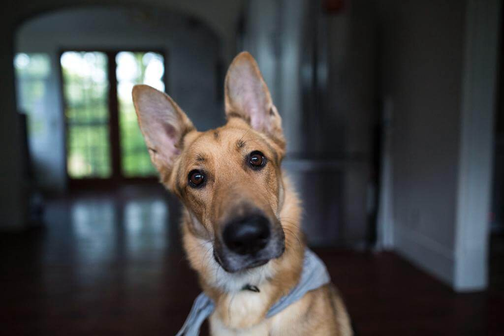 why do dogs flick their ears