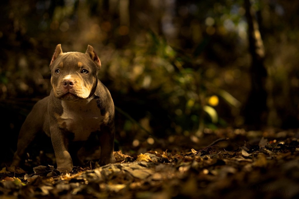 AMERICAN BULLY & EXOTIC STUDS MAKING THE MOST NOISE IN 2017–2018