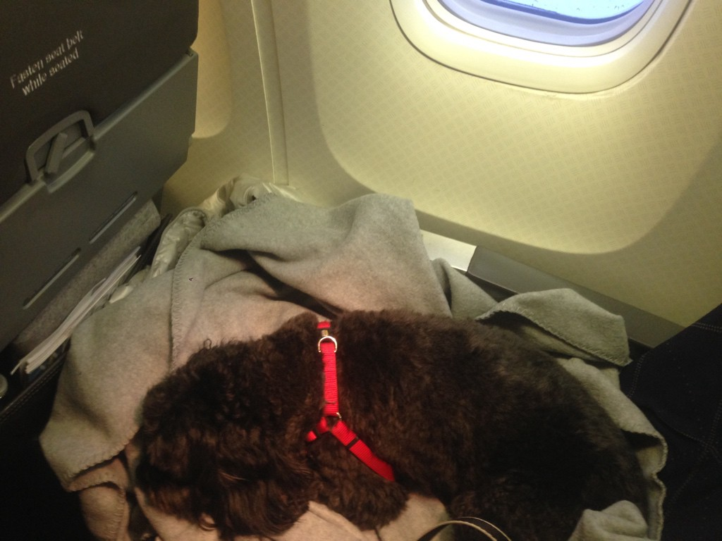 Louie, our dog, in the airplane on the way to Italy