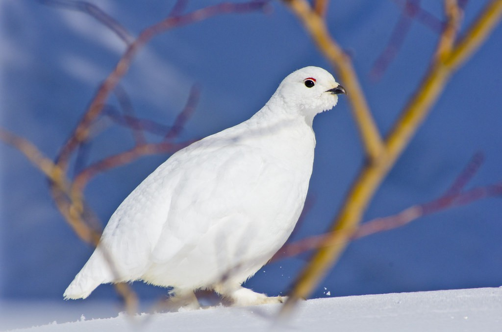 White-tailed ptarmigan with all white feathers walking atop snow