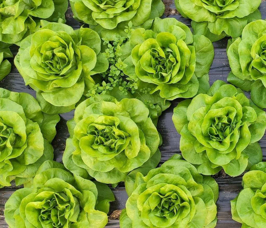 Top-down view of heads of lettuce sitting on a wood background.