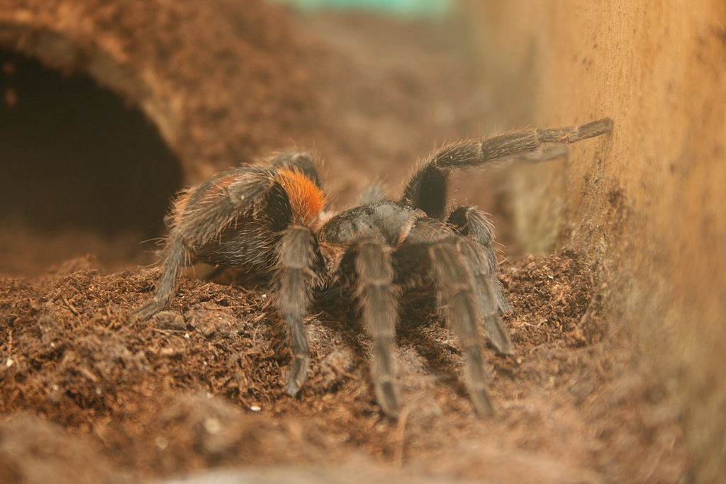 A small brown and red tarantula in an enclosure
