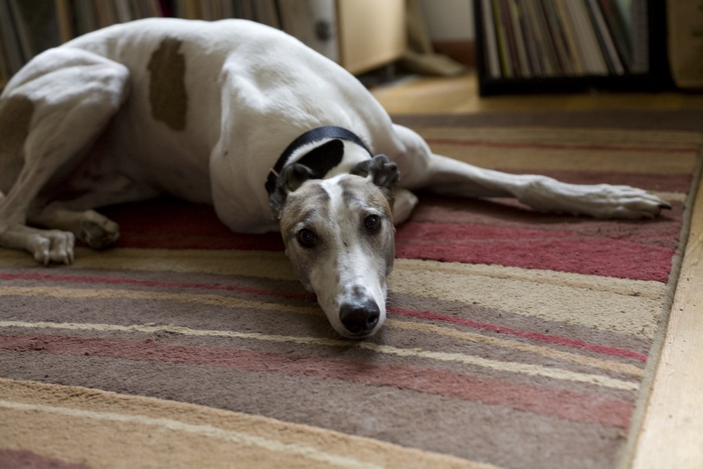 What I wish I'd known before I got a greyhound - Writing in