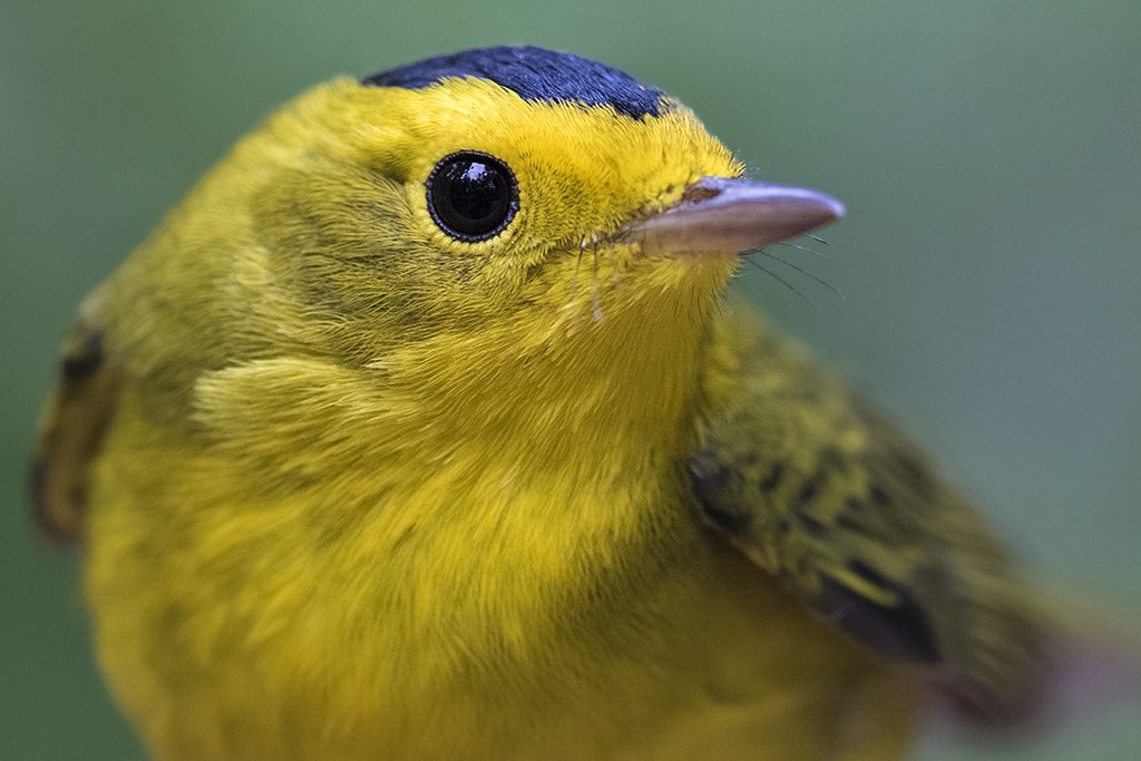close-up of a wilson's warbler that's yellow with a black cap