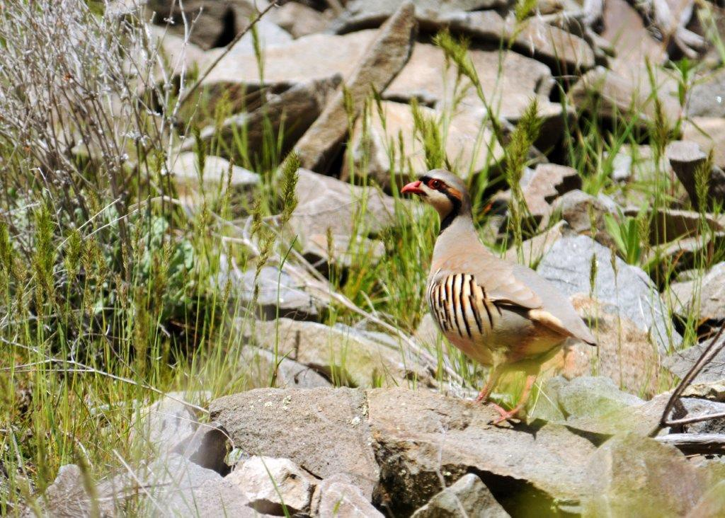 A chukar perched on rocks scans its surroundings